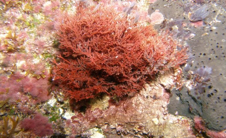 compostos-de-alga-vermelha-da-costa-de-peniche-sao-eficazes-no-tratamento-do-cancro