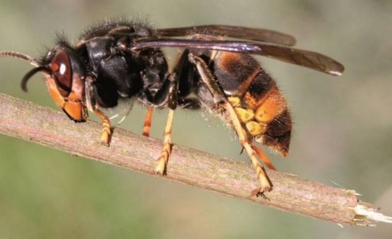 destruidos-15-ninhos-de-vespa-asiatica-na-nazare