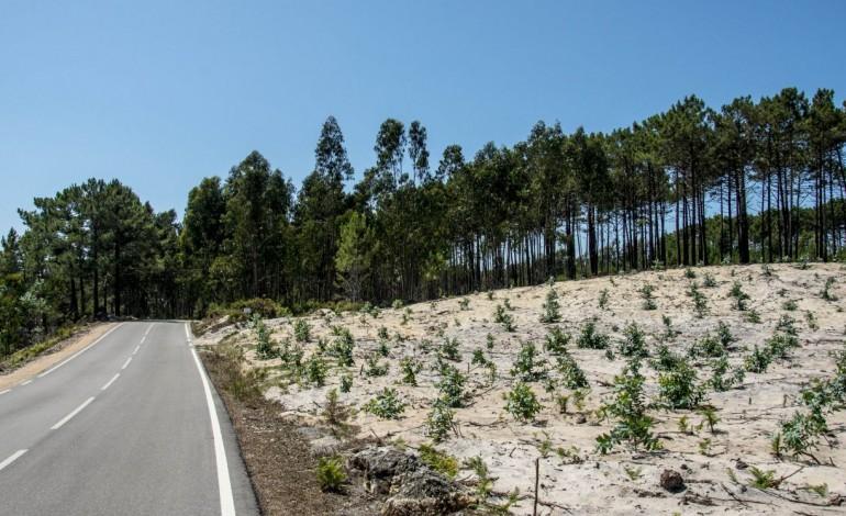 corrida-ao-eucalipto-antes-da-lei-que-proibe-novas-plantacoes-6961