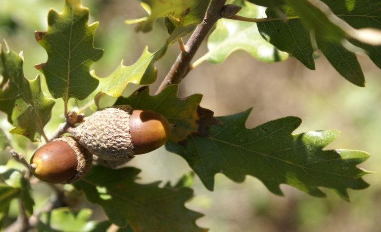 subsidiar-o-carvalho-como-se-faz-com-o-eucalipto-poderia-aumentar-lucros-da-floresta-9004