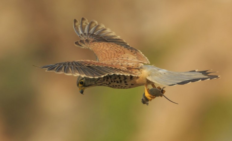 falcoes-e-lontras-em-alcobaca-sim-eles-andam-ai-3337