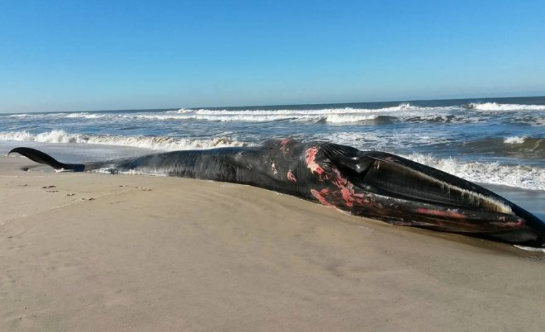 baleia-deu-a-costa-na-praia-do-vale-furado-actualizacao-2536