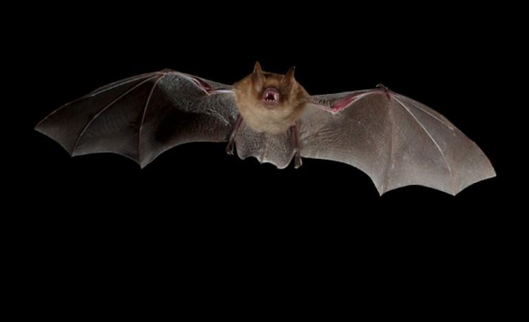 morcego-lanuno