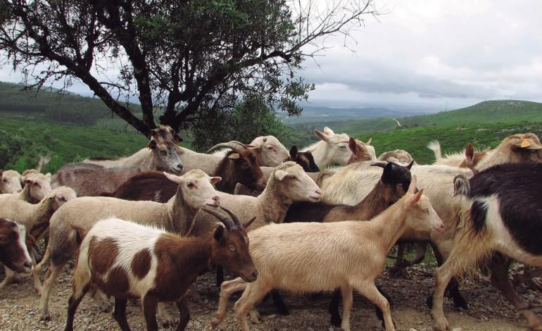 os-pastores-voltaram-a-escola-e-a-culpa-e-do-queijo-rabacal