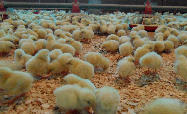 vinte-e-cinco-mil-aves-mortas-em-incendio-em-aviario-no-concelho-de-leiria-4227
